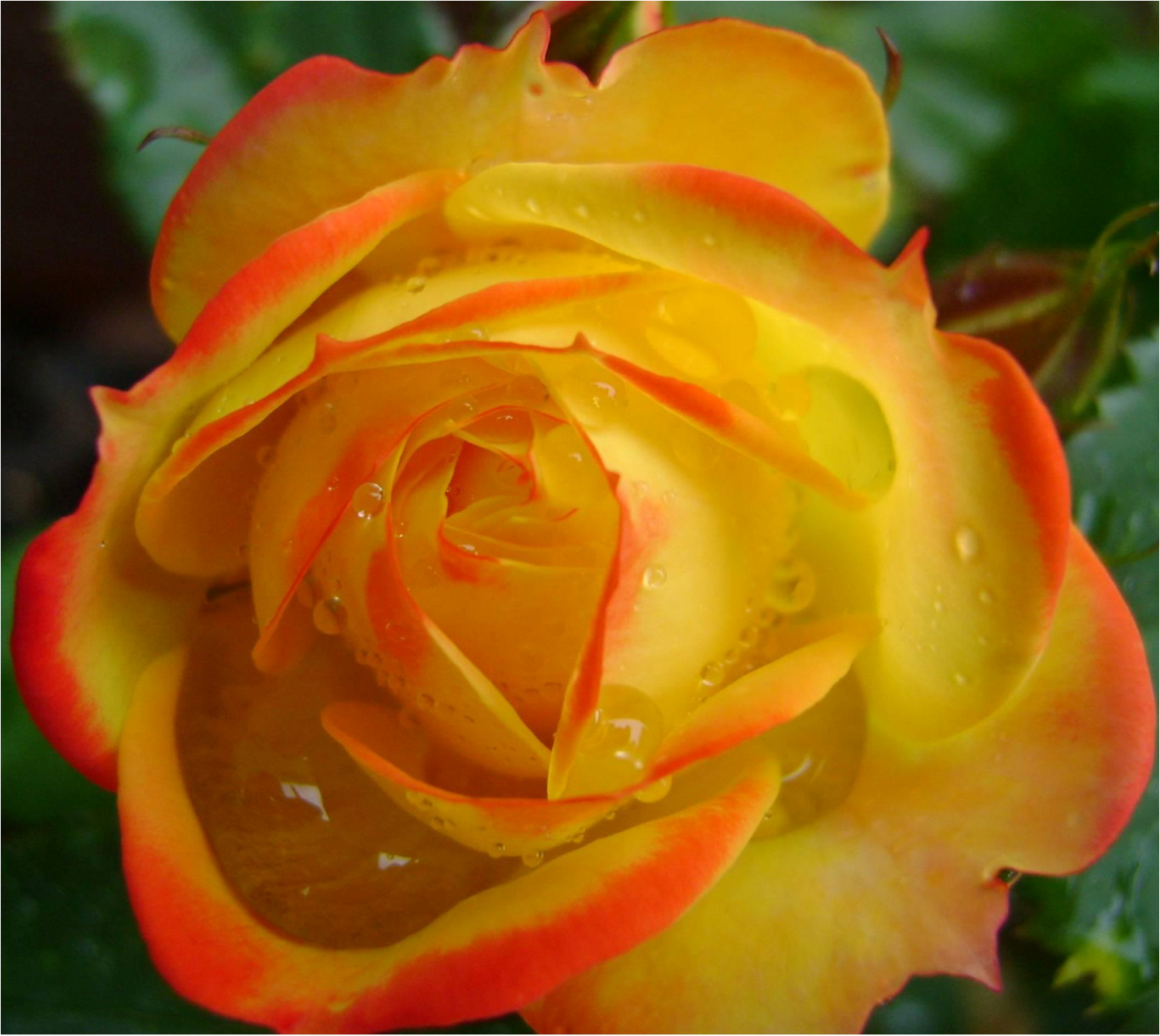 cropped-rose-cover-pic-blank-1.png